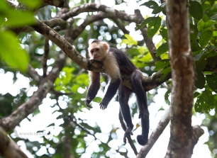 A white faced capuchin relaxes on a branch.