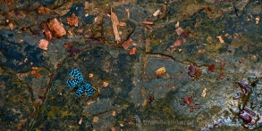 Some type of blue butterfly enjoys the coolness of a wet rock near the Nauyaca waterfall.