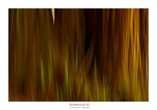 redwoods#2_7989